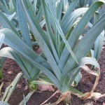 Common Leek Pests and Problems