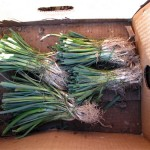 How Deep Should Leeks be Planted?